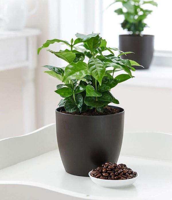 Kaffeepflanze Pflege Tipps und Wissenswertes für kaffeeliebende Hobbygärtner schwarzer topf matte kaffee