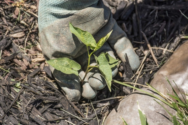 Unkraut entfernen Unkraut jäten großflächig Unkraut entfernen Tipps Handschuhe