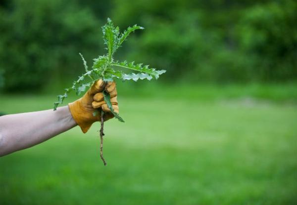 Unkraut entfernen Unkraut jäten großflächig Unkraut entfernen Tipps Rasen