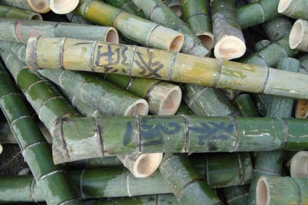 Wie schnell wächst Bambus Bambushalme abgeschnitten