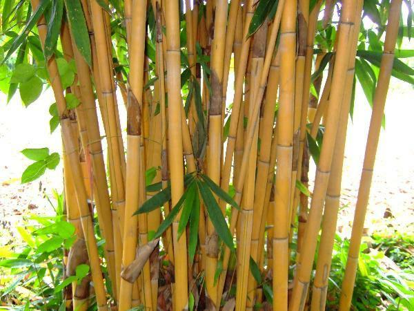 Wie schnell wächst Bambus Bambushalme