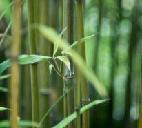 Wie schnell wächst Bambus und andere interessante Fakten über die erstaunliche Pflanze