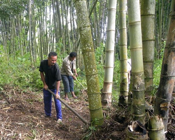 Wie schnell wächst Bambus Bambuspflanzen Bambus Wachstum