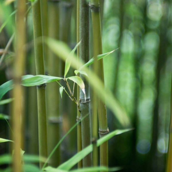 Wie schnell wächst Bambus Bambuspflanzen