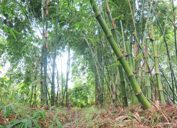 Wie schnell wächst Bambus Bambuswald Asien
