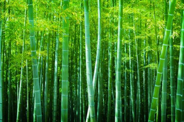 Wie schnell wächst Bambus Bambuswald Bambus Wachstum