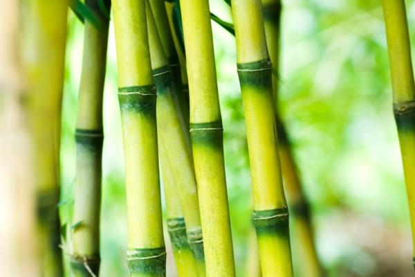 Wie schnell wächst Bambus Wissenswerte Information
