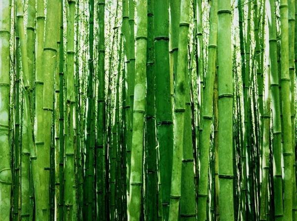 Wie schnell wächst Bambus Wissenswertes