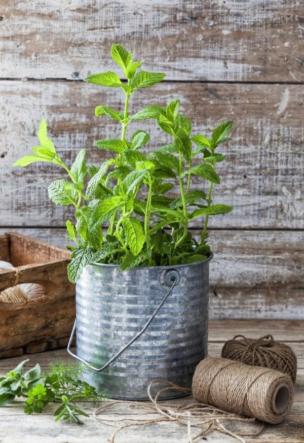 Zinkwanne dekorieren – Ideen und Tipps für eine rustikale Gartendeko metall topf minze kräuter
