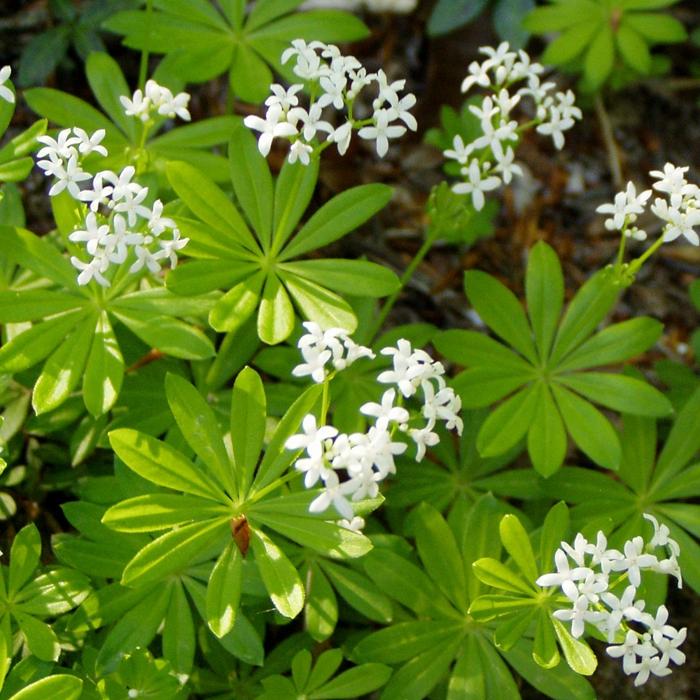 waldmeister rezepte pflanze