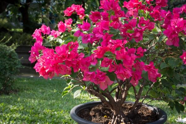 Bougainvillea Pflege Tipps und Wissenswertes über die Drillingsblume bonsai im topf blüten