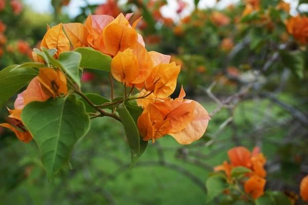 Bougainvillea Pflege Tipps und Wissenswertes über die Drillingsblume orange blumen garten