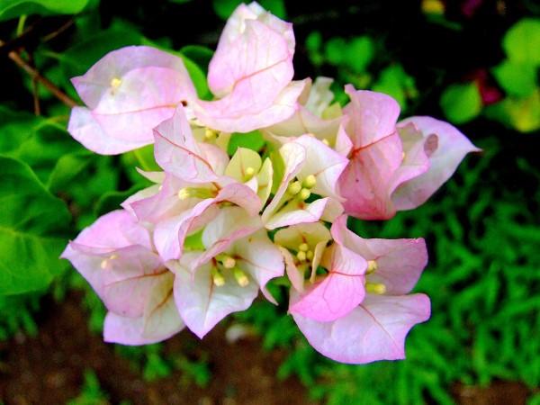 Bougainvillea Pflege Tipps und Wissenswertes über die Drillingsblume rosa blumen schön zart