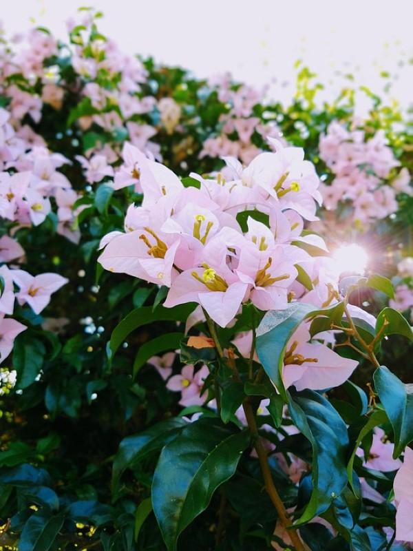 Bougainvillea Pflege Tipps und Wissenswertes über die Drillingsblume rosa lavendel farbige blumen