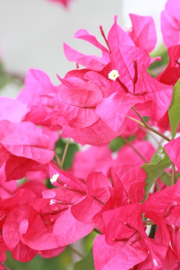 Bougainvillea Pflege Tipps und Wissenswertes über die Drillingsblume rosa lila blumen schön