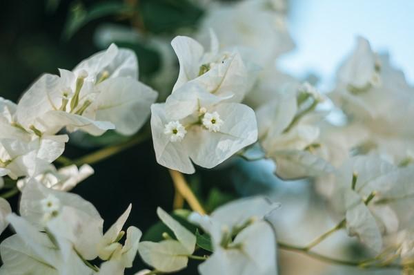 Bougainvillea Pflege Tipps und Wissenswertes über die Drillingsblume weiße farbe blüten
