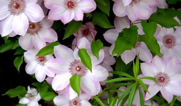 Clematis Pflege und Wissenswertes über die Waldreben lila blüten hübsch