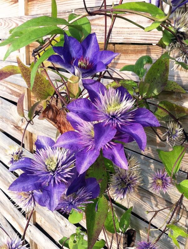 Clematis Pflege und Wissenswertes über die Waldreben lila blüten wand sichtschutz