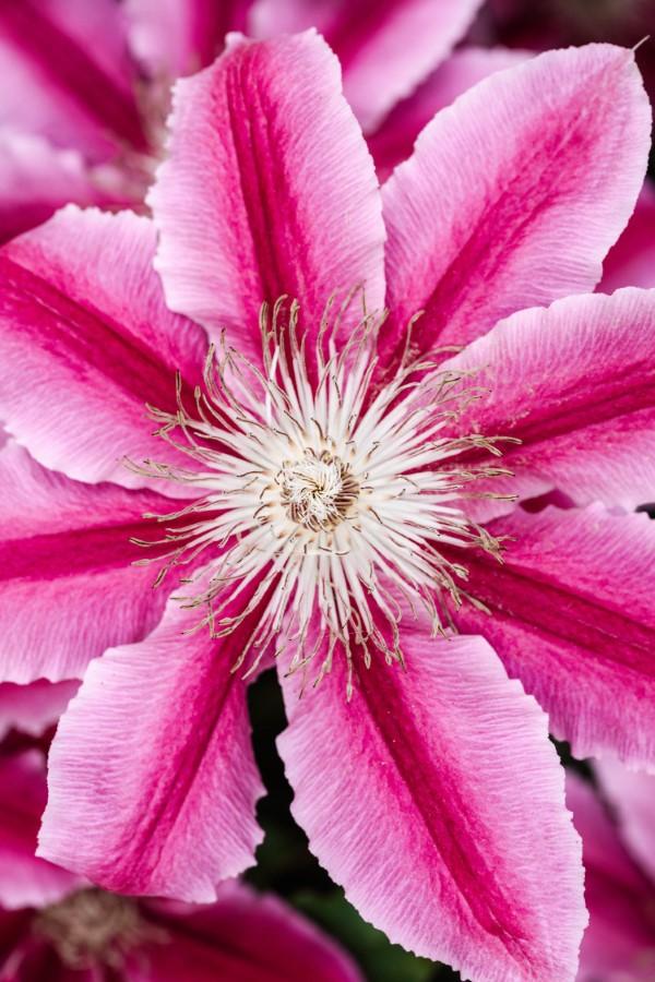 Clematis Pflege und Wissenswertes über die Waldreben lila weiße blüte groß