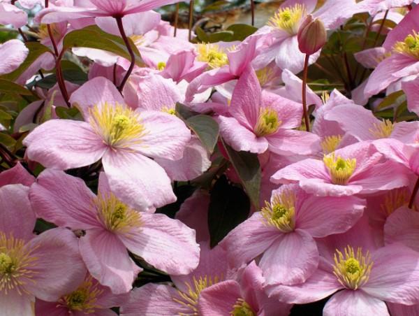 Clematis Pflege und Wissenswertes über die Waldreben rosa blüten voll
