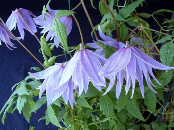 Clematis Pflege und Wissenswertes über die Waldreben sorte violett hängend