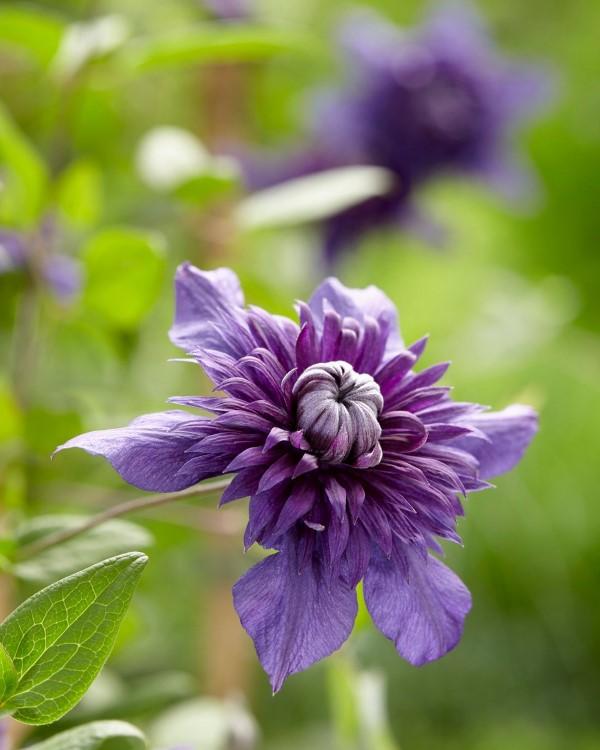 Clematis Pflege und Wissenswertes über die Waldreben violett sorte wundervoll