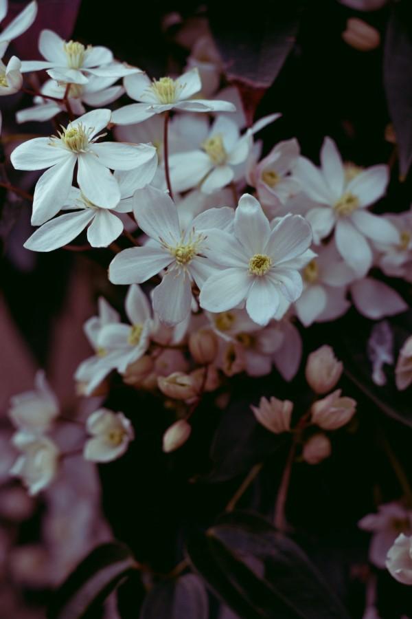 Clematis Pflege und Wissenswertes über die Waldreben weiße blüte zauberhaft schön