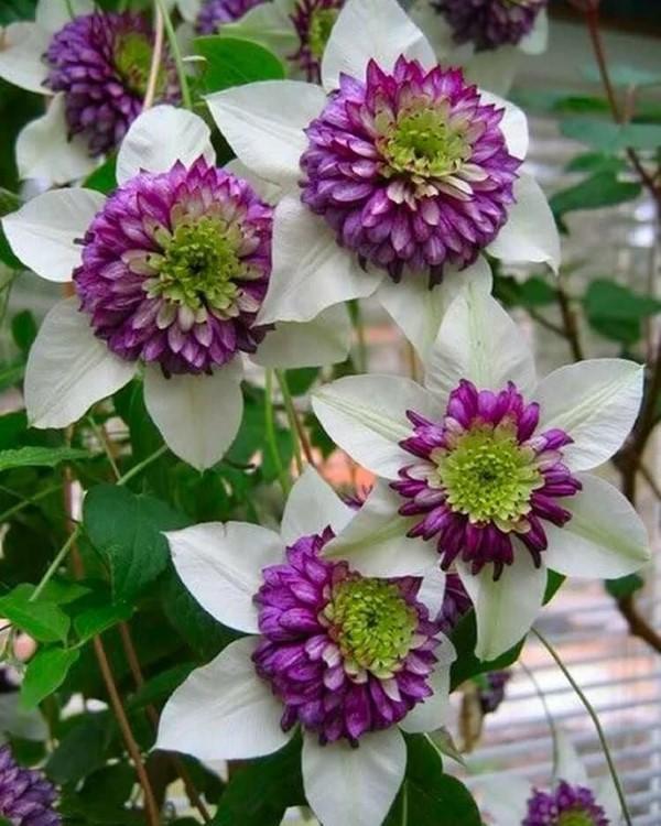 Clematis Pflege und Wissenswertes über die Waldreben zweifarbige sorten lila weiß