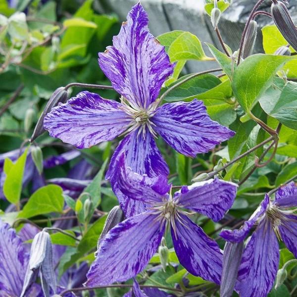 Clematis Pflege und Wissenswertes über die Waldreben zweifarbige sorten violett weiß