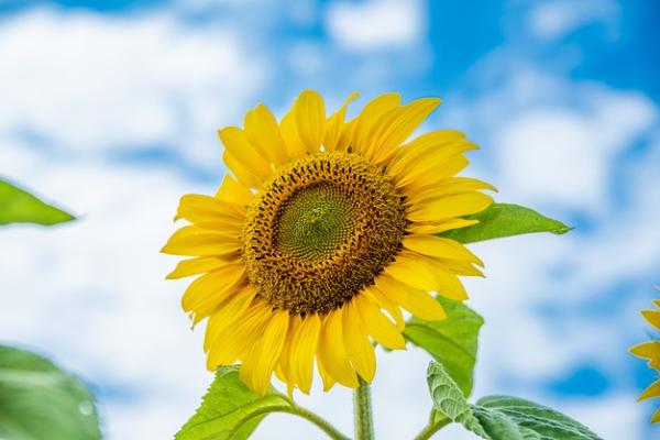 Die besten Blumen für diesen Sommer 2021 sonnenblumen