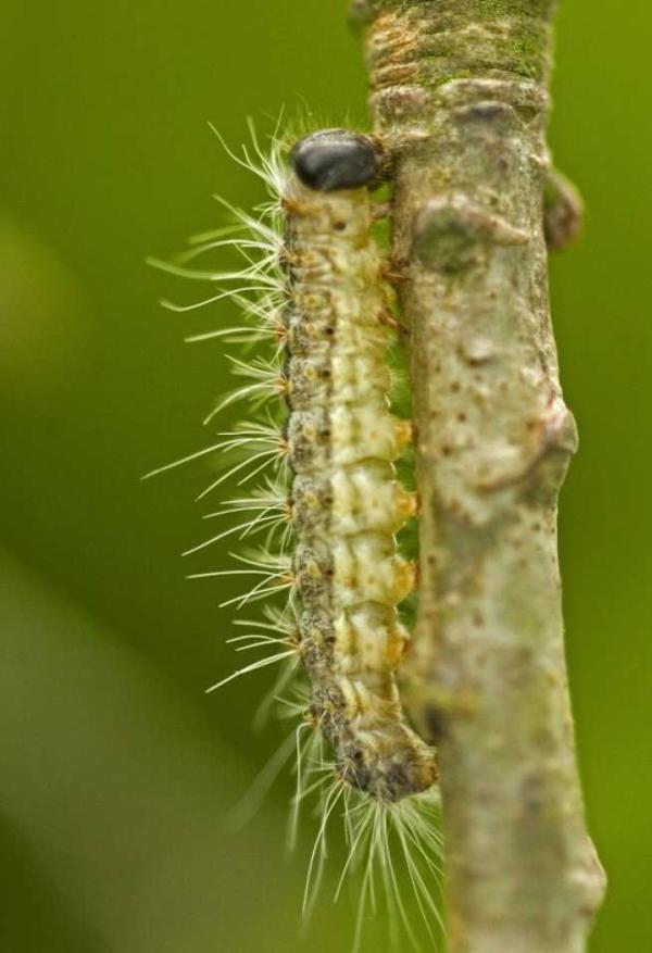 eichenprozessionsspinner larve