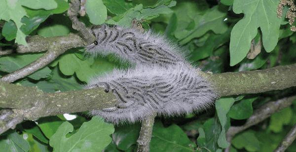 eichenprozessionsspinner motte larven