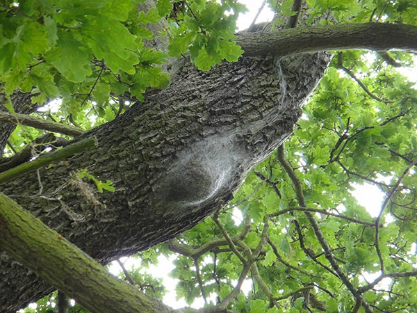 geferliches eichenprozessionsspinner nest