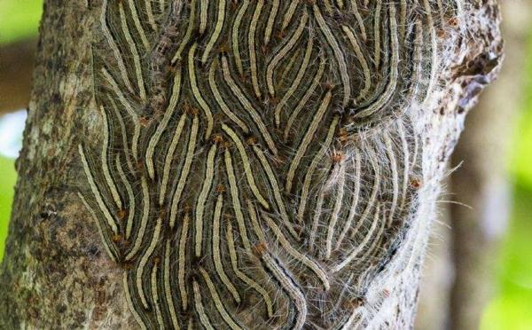 larveno von eichenprozessionsspinner