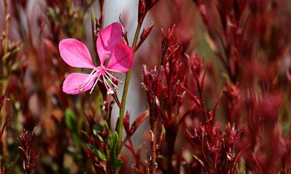 prachtkerzen gaura lindheimeri pink