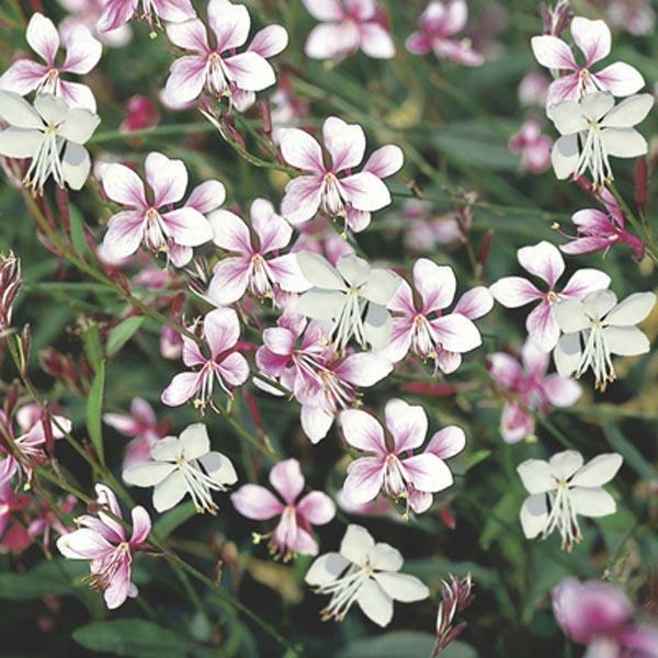 prachtkerzen wunderschöne blüten