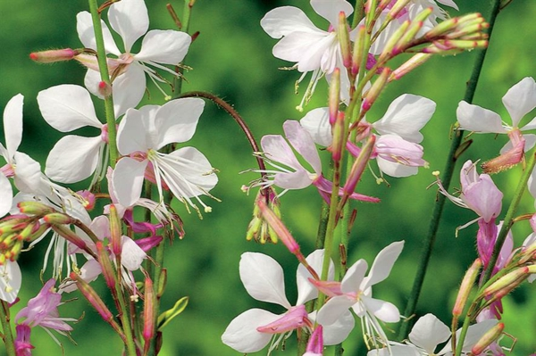 weisse blüte von gaura prachtkerzen