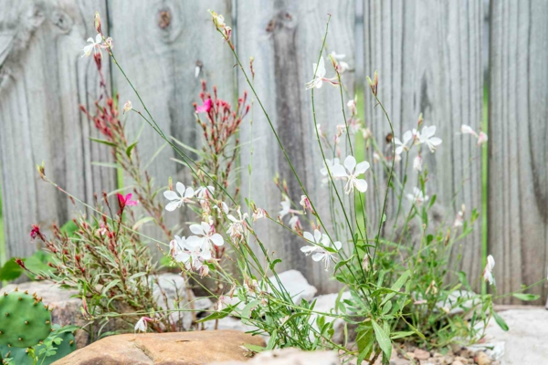 weisse rosa blüten prachtkerzen gaura