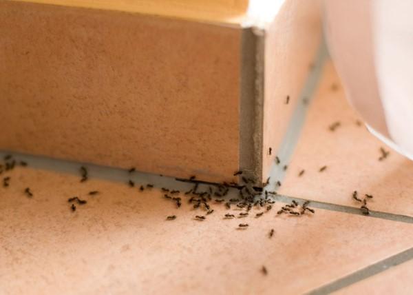 Ameisen vertreiben – so gewinnen Sie im Kampf gegen den Insektenstaat ameisen in der küche