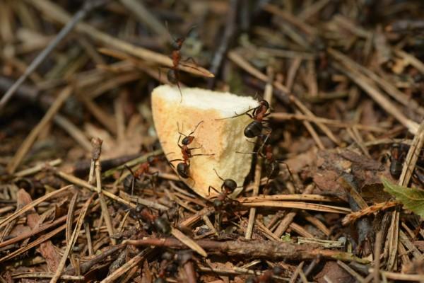 Ameisen vertreiben – so gewinnen Sie im Kampf gegen den Insektenstaat brot stück brösel snack für ameisen