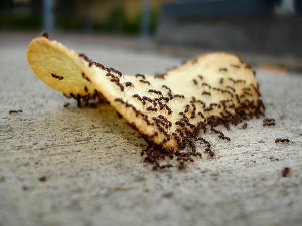 Ameisen vertreiben – so gewinnen Sie im Kampf gegen den Insektenstaat insekten knabbern an chips