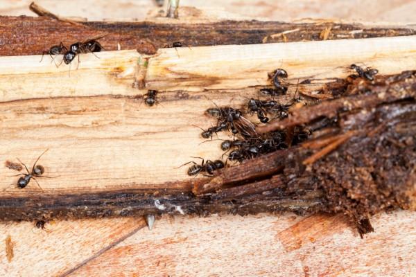 Ameisen vertreiben – so gewinnen Sie im Kampf gegen den Insektenstaat rossameisen holz schaden