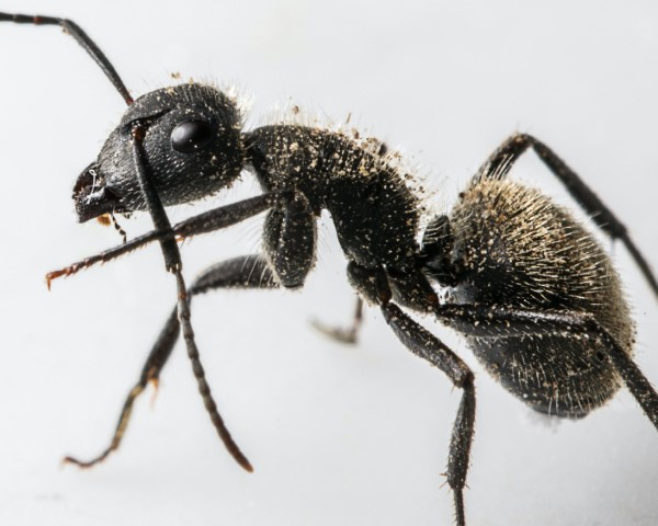 Ameisen vertreiben – so gewinnen Sie im Kampf gegen den Insektenstaat schwarze ameise nahaufnahme