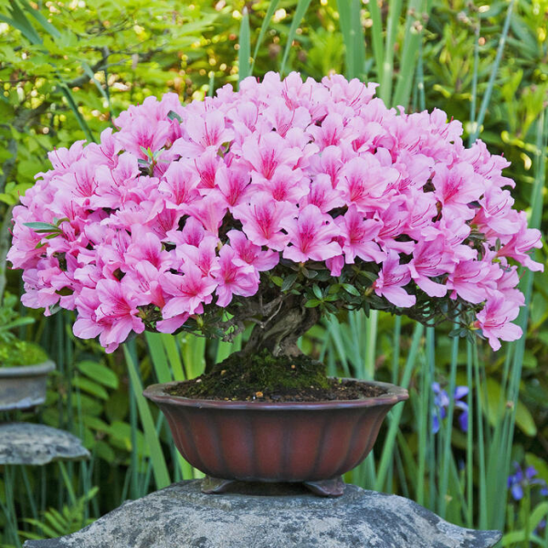 Azalee Bonsai im flachen runden Topf attraktive violette Blüten Blickfang im Garten