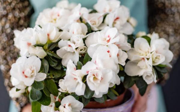 Azalee Strauch im Garten an einem halbschattigen Ort weiße Blüten