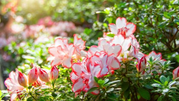 Azalee attraktive dekorative Pflanzen prächtige Blüten zweifarbig