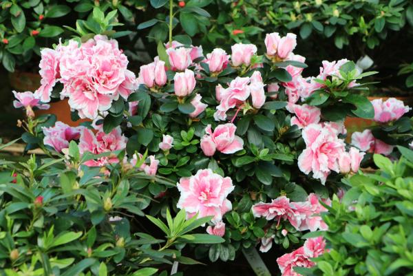 Azalee im Garten interessant gefärbte Blüten toller Blickfang viel Farbe düngen von März bis September
