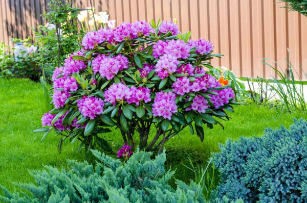 Azalee im Garten nicht sehr hoher Strauch lila Blüten sehr attraktiv an einem hellen halbschattigen Ort