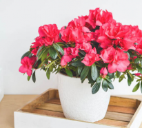 Azalee – eine attraktive Pflanze und wie man sie richtig pflegt