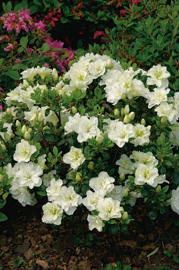 Azalee kleiner Strauch im Garten schöne weiße Blüten sehr attraktiv
